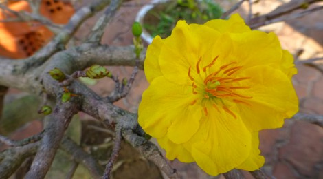 Fleur de Mai - Hoa Mai - Photo: MTT 2014