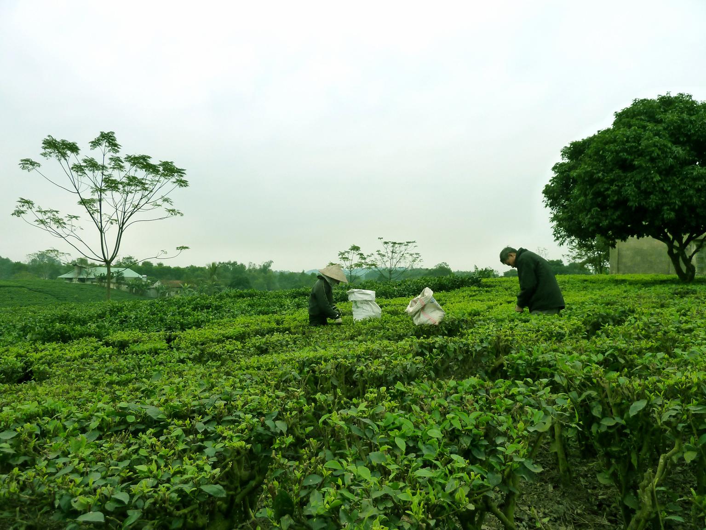 Trên đồi chè Thái Nguyên xanh ngát chân trời. Photo: Mathilde Tuyết Trần, Thái Nguyên 2011