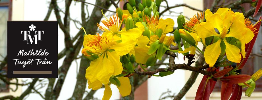 Fleur de Mai (Hoa Mai)