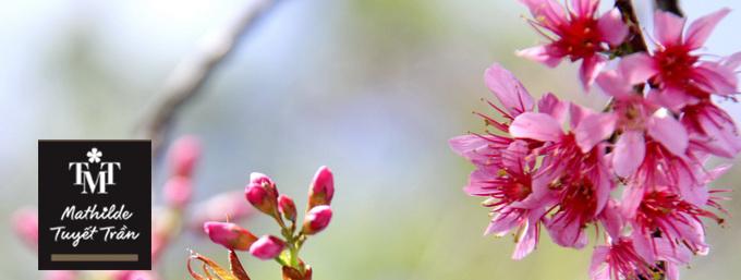 Fleur de prunus (Hoa Dao)