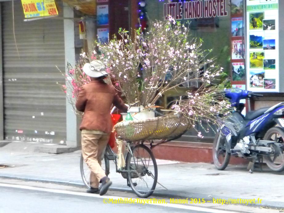 Les femmes, venant de la campagne autour de Hanoi, vendrent les branches de prunus (cành đào) en vélo et à pied. Photo: ©MathildeTuyetTran, Hanoi 2015 – http://mttuyet.fr