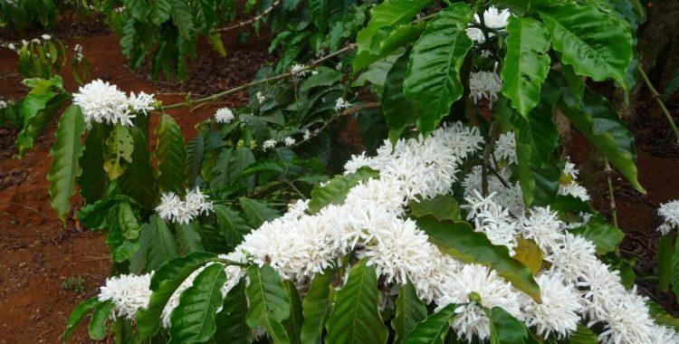 Pleiku, hoa cà phê thơm ngát